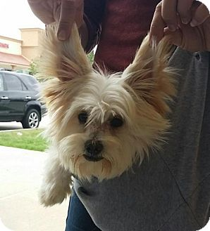 Maltese/Poodle (Miniature) Mix Dog for adoption in Flower Mound, Texas - Pepe