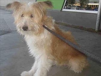 Tibetan Terrier/Wheaten Terrier Mix Dog for adoption in Encino, California - Tommy