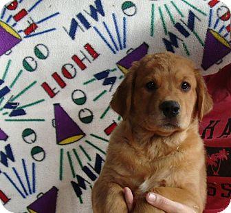 Great Pyrenees/Labrador Retriever Mix Puppy for adoption in Oviedo, Florida - Thor