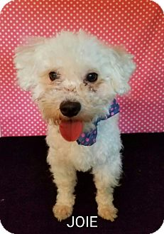 Poodle (Toy or Tea Cup)/Poodle (Toy or Tea Cup) Mix Dog for adoption in Pluckemin, New Jersey - Joie