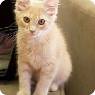 Domestic Mediumhair Kitten for adoption in Marietta, Georgia - Harry