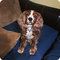 Adopt A Pet :: Ginger - Davie, FL