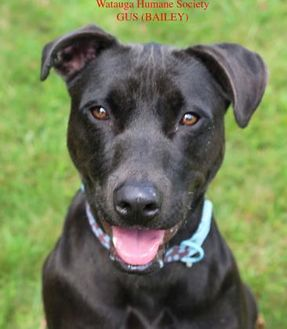 Labrador Retriever Mix Dog for adoption in Boone, North Carolina - Gus (Bailey)
