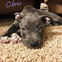 Adopt A Pet :: Chris - Tempe, AZ