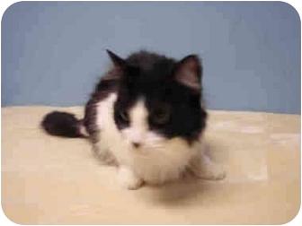 American Shorthair Cat for adoption in San Pedro, California - BEBE