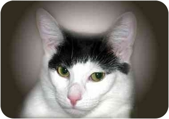 Domestic Shorthair Cat for adoption in Montgomery, Illinois - Phyllis