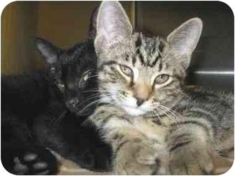 Domestic Shorthair Kitten for adoption in North Kingstown, Rhode Island - Wade