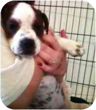 Boxer/Jack Russell Terrier Mix Puppy for adoption in Harrah, Oklahoma - Molly