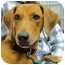 Photo 1 - Labrador Retriever/Basset Hound Mix Dog for adoption in Portsmouth, Rhode Island - Journey