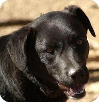 Labrador Retriever Mix Dog for adoption in Oakland, Arkansas - Webster