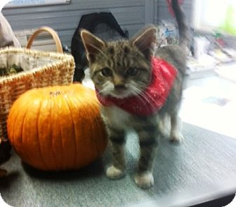 Domestic Shorthair Cat for adoption in Princeton, Kentucky - Avery