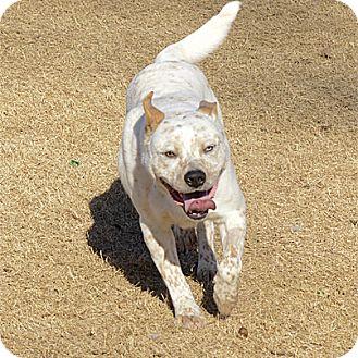 Australian Cattle Dog/Pit Bull Terrier Mix Dog for adoption in Stillwater, Oklahoma - Banzai