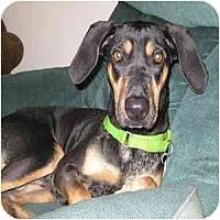 Adopt A Pet :: Shadow - Phoenix, AZ