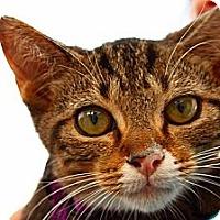 Adopt A Pet :: Kobruk - Lombard, IL