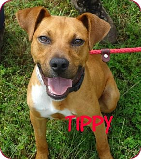 Mountain Cur/Terrier (Unknown Type, Small) Mix Dog for adoption in Mount Ida, Arkansas - Tippy