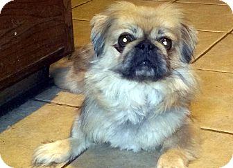 Pekingese Mix Dog for adoption in Overland Park, Kansas - Dave