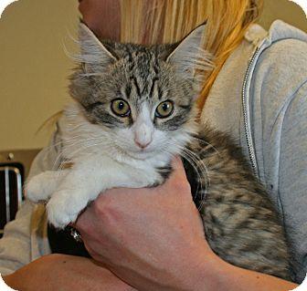 Domestic Longhair Kitten for adoption in Yucca Valley, California - Danica Dandilion Toemay
