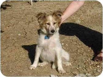 Collie/Sheltie, Shetland Sheepdog Mix Puppy for adoption in Vista, California - Dolly