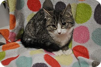 Domestic Shorthair Kitten for adoption in Rockaway, New Jersey - Tomato