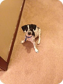 Fox Terrier (Smooth) Mix Puppy for adoption in Brick, New Jersey - Sparkles