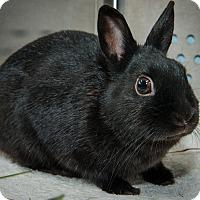 Adopt A Pet :: Athena - New York, NY