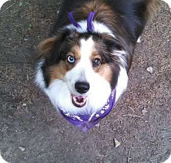 Sheltie, Shetland Sheepdog Dog for adoption in Pittsburgh, Pennsylvania - Nina (ADOPTION PENDING)