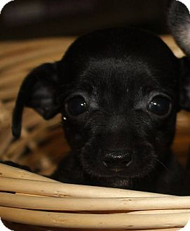 Chihuahua Mix Puppy for adoption in Colonial Heights, Virginia - Pixi