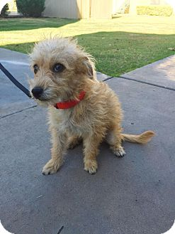 Cairn Terrier/Poodle (Miniature) Mix Puppy for adoption in Phoenix, Arizona - Quinn