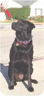 Labrador Retriever Mix Dog for adoption in West Los Angeles, California - Rya