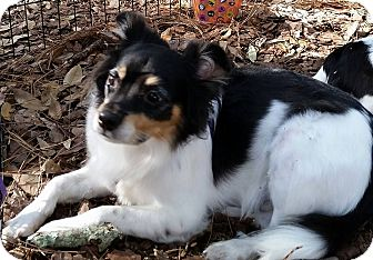 Fox Terrier (Smooth)/Papillon Mix Dog for adoption in New Port Richey, Florida - Corkie