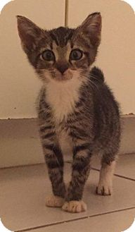 Domestic Shorthair Kitten for adoption in Gainesville, Florida - Pablo