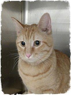 Domestic Shorthair Cat for adoption in Pueblo West, Colorado - Diedra
