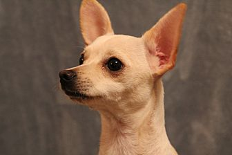 Chihuahua Mix Dog for adoption in Yukon, Oklahoma - Miss Bliss