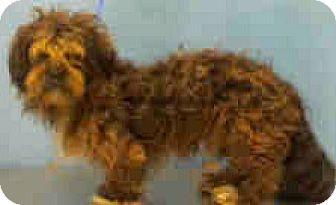 Lhasa Apso/Poodle (Miniature) Mix Dog for adoption in Boulder, Colorado - Teddy-ADOPTION PENDING