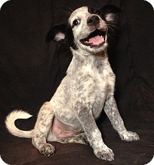 Border Collie/Blue Heeler Mix Puppy for adoption in SOUTHINGTON, Connecticut - Thompson