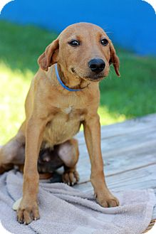 Hound (Unknown Type) Mix Puppy for adoption in Waldorf, Maryland - Finnigan