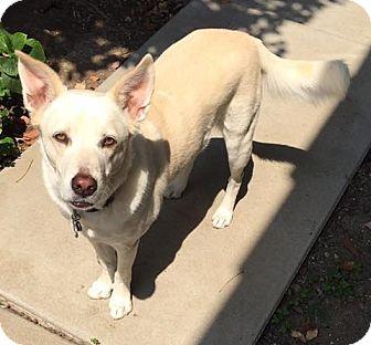 Labrador Retriever/Shepherd (Unknown Type) Mix Dog for adoption in Canoga Park, California - Kugel