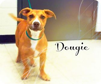 Pit Bull Terrier/Dachshund Mix Dog for adoption in Defiance, Ohio - Dougie