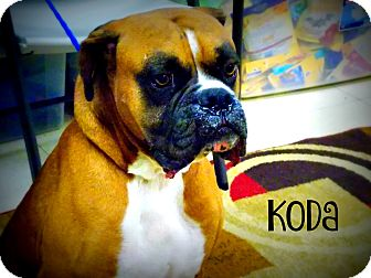Boxer Dog for adoption in Defiance, Ohio - Koda