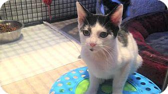 Domestic Shorthair Kitten for adoption in Flushing, Michigan - Cowboy