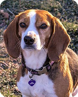Beagle Mix Dog for adoption in Fairfax, Virginia - Lucy
