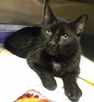 Domestic Shorthair Kitten for adoption in Somerset, Kentucky - Shaka