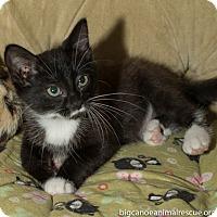 American Shorthair Kitten for adoption in Big Canoe, Georgia - Anna