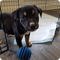 Terrier (Unknown Type, Small) Mix Puppy for adoption in Raleigh, North Carolina - Porter