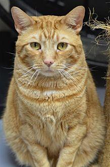 Domestic Shorthair Cat for adoption in Atlanta, Georgia - Orange Sherbert 13138