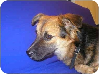German Shepherd Dog Mix Dog for adoption in Little Falls, Minnesota - Willy