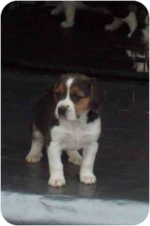 Beagle Puppy for adoption in cedar grove, Indiana - Chunk-a-Dunk