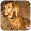 Photo 2 - Dachshund Dog for adoption in San Jose, California - Molly