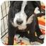 Photo 2 - Border Collie/Labrador Retriever Mix Puppy for adoption in Westminster, Colorado - TUCKER