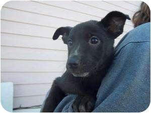 Border Collie/Labrador Retriever Mix Puppy for adoption in Westminster, Colorado - Kayla